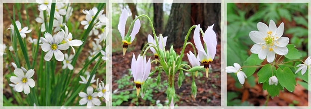 blue eyed grass- shooting star - rue anenome