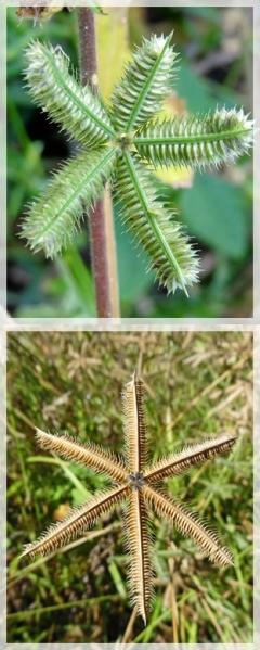 Crowfoot grass - Dactyloctenium aegyptium