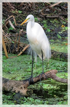 great egret - corkscrew swamp