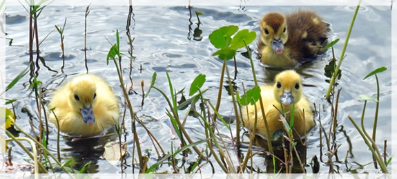 muscovy ducklings - florida