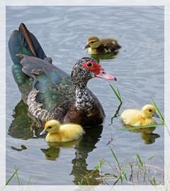 muscovy - ducklings