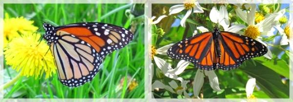 Monarch butteflies
