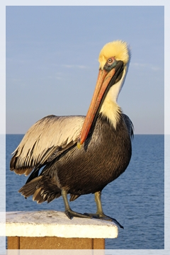 bronw pelican - male