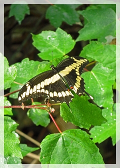 giant swallowtaiil butterfly