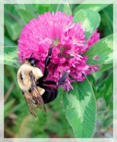 red clover - bee