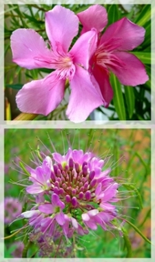 oleander - rocky mt. bee plant