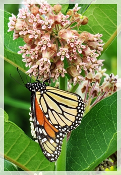 monarch butterfly - common milkweed