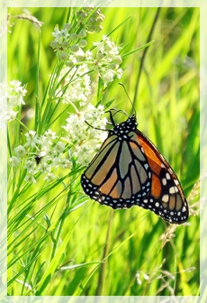 monarch butterfly - whorled milkweed
