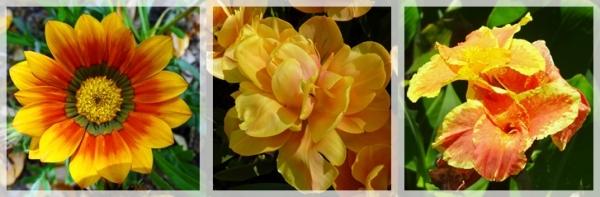 blanket fower - tulip - golden canna
