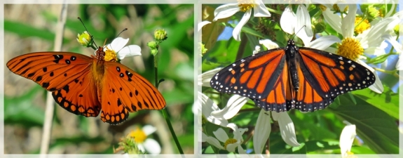 gulf fritillary - Monarch butterflies