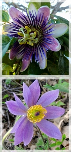 passion glower - pasqueflower