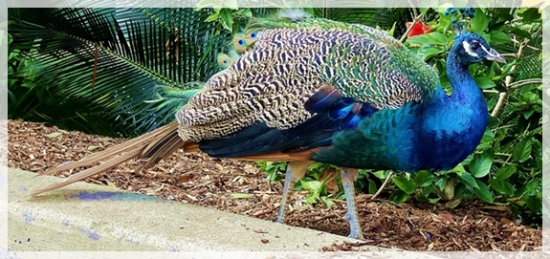 peacock - peahen