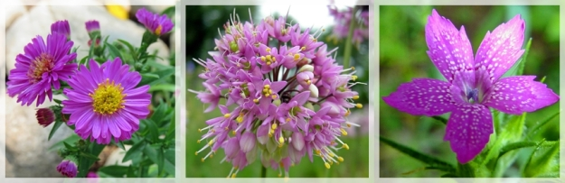 aster - nodding onion - deptford pink