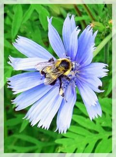 chicory - bee