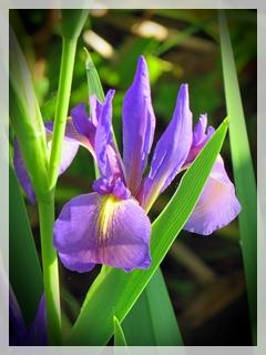 b;ue flag iris