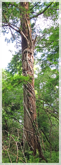 strangler fig - corkscrew swamp