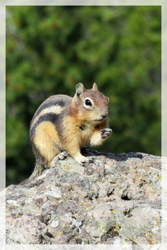 golden mantled ground squirrel - Yellowstone