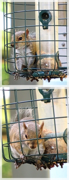 grey squirrel in bird feeder