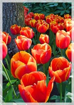 tulips - keukenhof gardens -netherlands