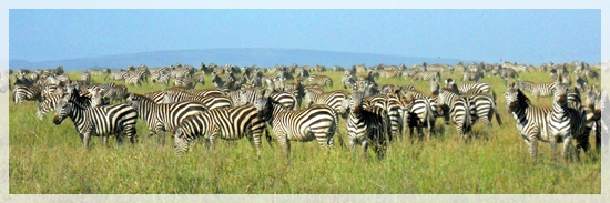 zebras - great migration -serengeti