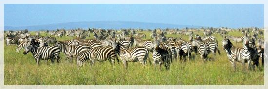 zebras - great migration -serengeti