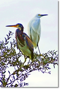 tri-colored heron - snowy egret