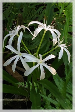 Swamp lily - Corkscrew swamp