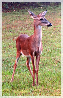 deer - young buck