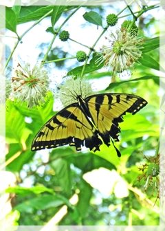tiger swallowtail - butterfly
