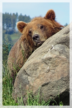 brown bear - montana