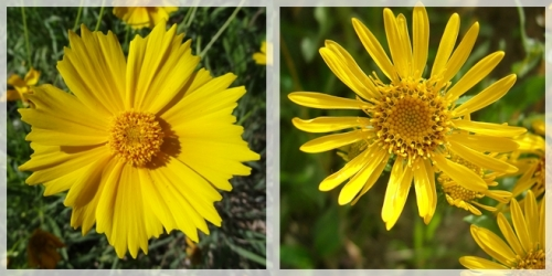 coreopsis-and-cowpen daisy