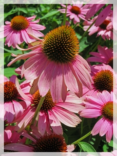 purple coneflower