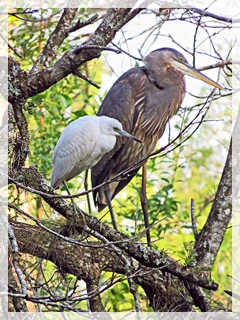 little blue heron (juvenile) - great blue heron