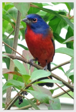 painted bunting - corkscrew swamp sanctuary
