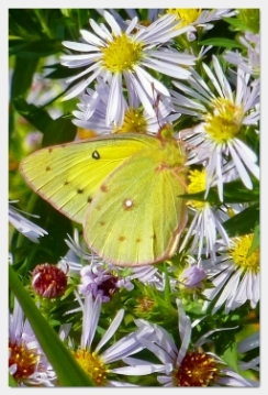 clouded sulphur butterfly on aster