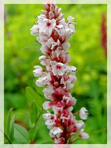 persicaria maculosa - redshank