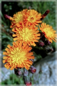 agoseris (orange) - mountain dandelion