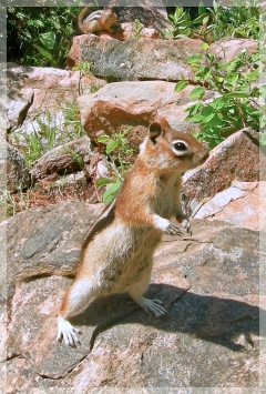 ground squirrel - chipmunk