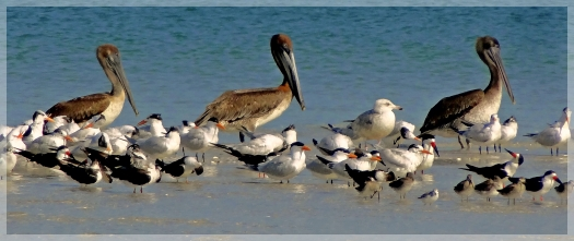 pelicans - royal terns - clam pass