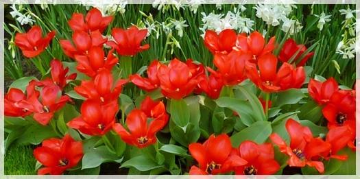 tulip kaufmanniana - fire ball