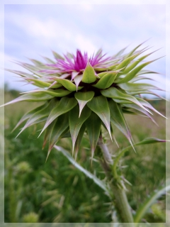 nodding - musk thistle