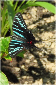 large striped swordtail butterfly