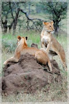 lions - serengetti
