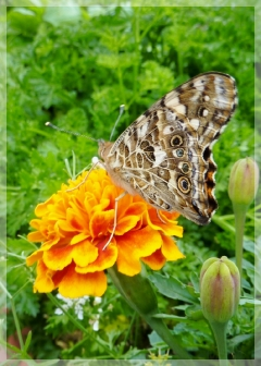 painted lady - marigold