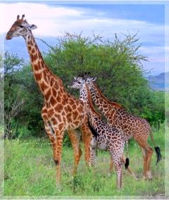 giraffe family -Serengeti - Tanzania