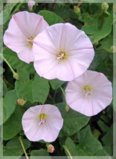 low bindweed - IL