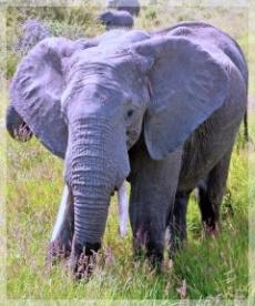 ELEPHANT - SERENGETI