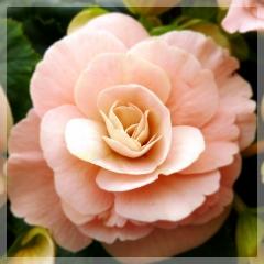 Begonia - Binos soft pink