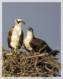osprey pair - rookery bay
