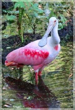 roseate spoonbill - corkscrew swamp
